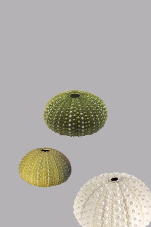 Be urchin in gray background