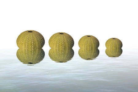 Be urchin in sea reflection