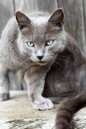 gray: Beautiful gray cat with green eyes face closeup Stock Photo