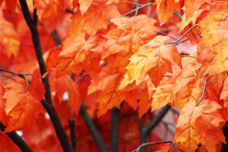 Red autumn leaves on tree, beautiful maple, nature 版權商用圖片 - 88163213