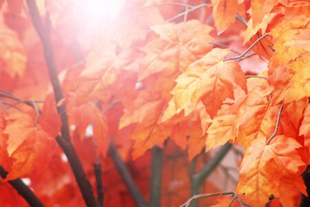 Red autumn leaves on tree, beautiful maple, nature