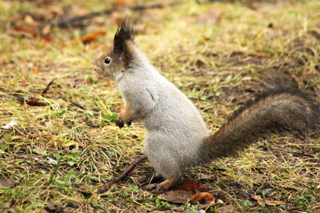 Cute grey squirrel eating in the park, nature
