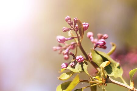 Blooming lilac, the new branch in the spring, nature Stock Photo