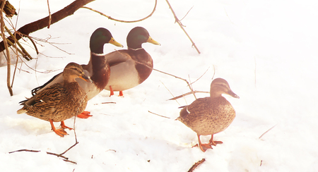 duck on the snow near the river, toned