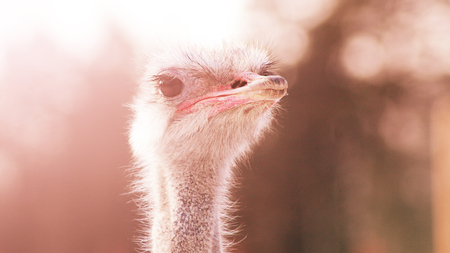 Portrait of an ostrich in sunny day, animal Stock Photo