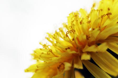 Dandelion Taraxacum Officinale Isolated. Yellow flower so close, macro Stock Photo