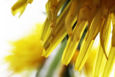 Dandelion Taraxacum Officinale Isolated. Yellow flower so close, macro Фото со стока