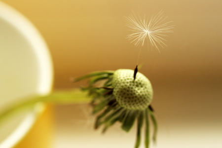 Close up of grown dandelion and dandelion seeds isolated on white background, nature