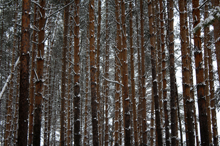 Pine forest, tree trunks background, winter Stock Photo
