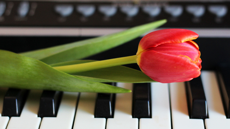 One tulip on piano keyboard Stockfoto