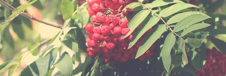 Rowan on a branch so close, vintage image