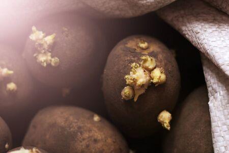 potatoe sprouts so close, sunlight toned