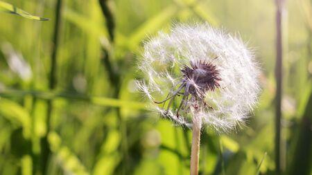One beautiful dandelion in summer so close Stockfoto