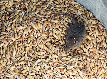 house mouse: Little house mouse sitting in a pile of grain. Selective focus close-up top view image Stock Photo