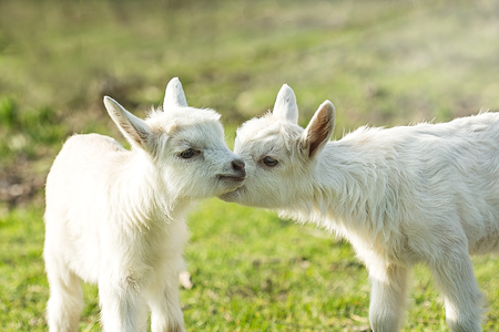 tenderly: Two cute six days old kid on the green grass. One another tenderly kisses. Selective focus image Stock Photo