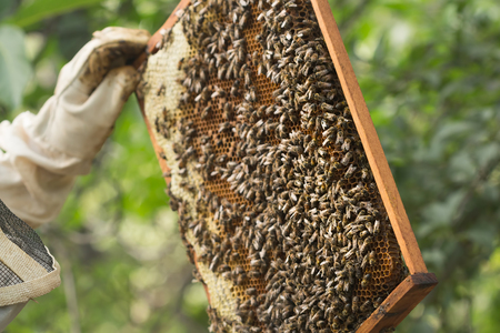 food inspection: Beekeeper inspects a frame with bees and some honey sealed.