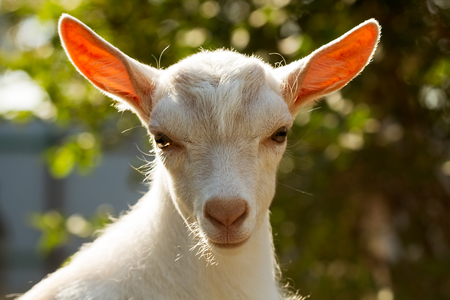 Portrait of young goat on a blurred green background