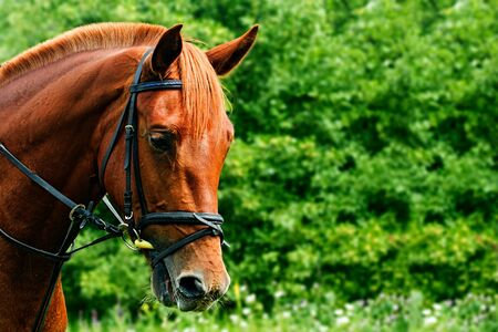 Portrait of a red horse on a green background with copyspace. The head of an animal in profile. A young mare of an Arab-Trakehner crossbreed in a bridle Stock Photo