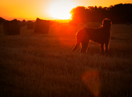 Gray Irish wolfhound looks at the rising sun Stock Photo