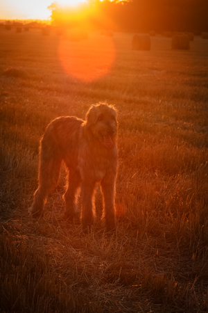 Large dog on the background of dawn