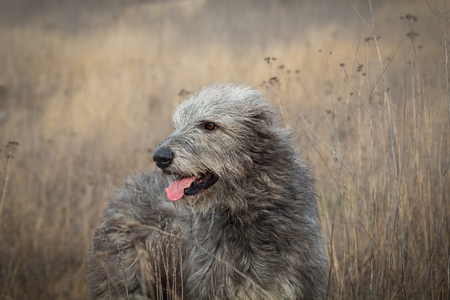 Gray Irish Wolfhound on a walk in the autumn field Stock Photo