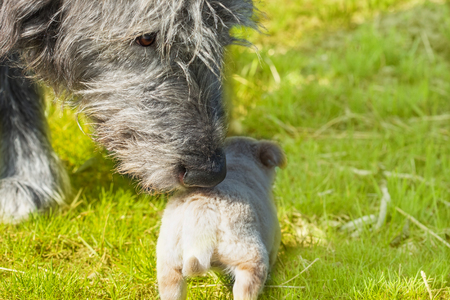 Big dog - Irish Wolfhound sniffs a little puppy Stock Photo