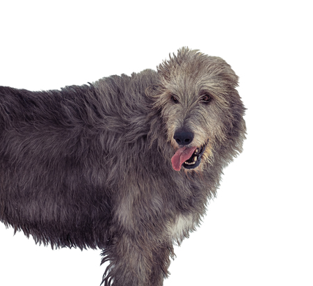 Portrait of gray irish wolfhound isolated on white background