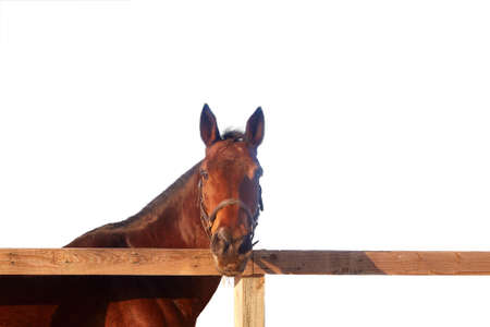 Dark bay horse stands behind a wooden fence and looks at the camera