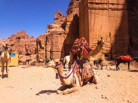 Camels having a rest under hot sun in old town of Petra, Jordan. Bedouins using animals as transport.