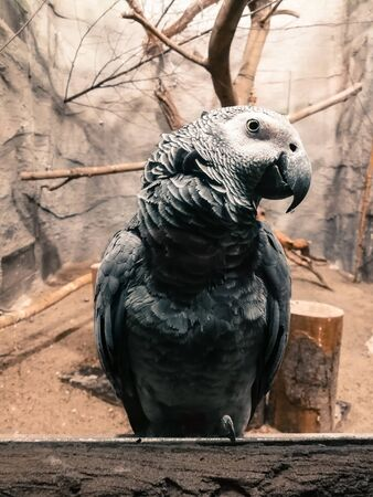 African gray parrot in zoological garden. Big bird in it's house. Gray parrot watching.