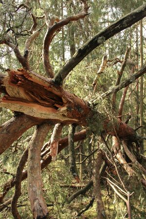Tree trunk that has cracked during storm. Disaster consequences in the nature park of Ogre, Latvia. Fallen tree.