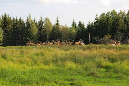 Deer herd at the forest edge. Safari trip at the deer park. Foto de archivo