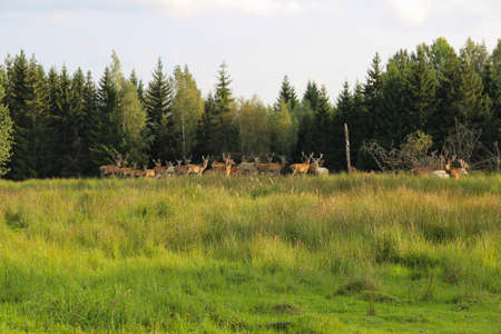 Deer herd at the forest edge. Safari trip at the deer park.