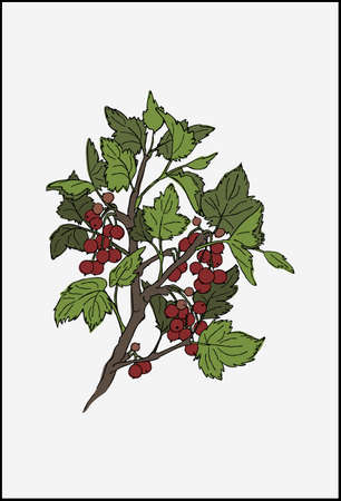 Red currant realistic vector illustration. Brunch with berries and green leaves.
