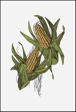 Ears of corn plant with green leaves. Realistic vector drawing of mature corn fruits.