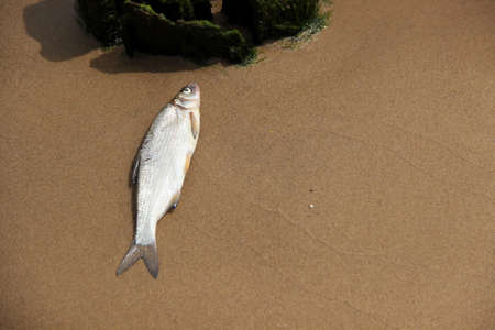 Died fish lays at the shore. Impact on the aquatic ecosystem.