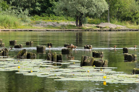 A flock of ducks swims among water lilies and old wooden piles.
