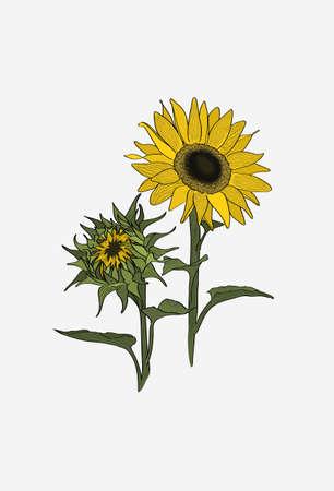 Sunflower turns to the sun. Two sunflowers set. Closed sunflowers blossom. 免版税图像