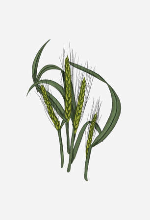 Green wheat set. Bunch of wheat stems. Wheat grains on a stalk. Grain culture plant.