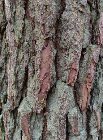 Texture of tree bark covered with moss. Close up of tree bark surface. 免版税图像