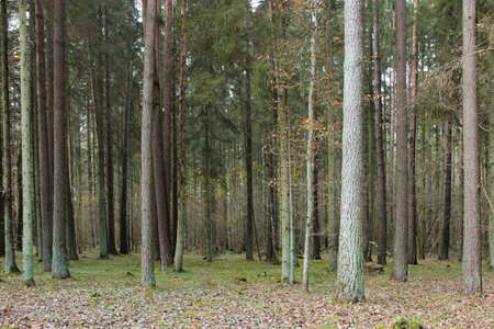 Mixed forest in autumn. Tree trunks and dry leaves. Forest landscape.