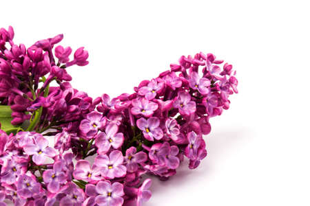 Flowering purple branch of lilac isolated on white background
