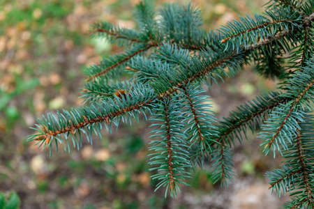 Spruce branch. Beautiful branch of spruce with needles. Christmas tree in nature. Green spruce. Spruce close up.