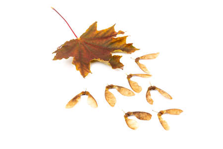 Close up of dried maple seeds isolated on white background. Natural materials. Design element