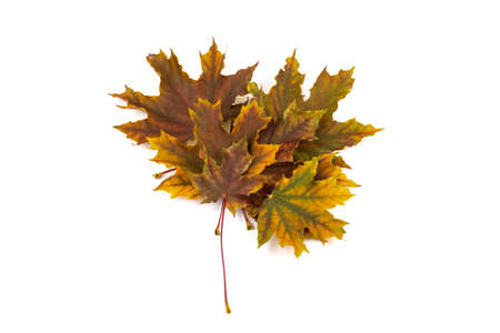 autumn maple leaf isolated on white background. collection of green and brown leaves.