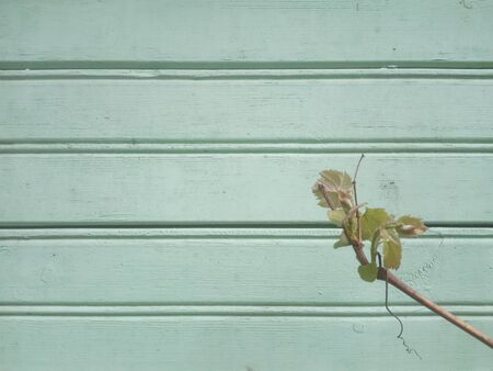 young vine on a background of a wall of old green boards Archivio Fotografico