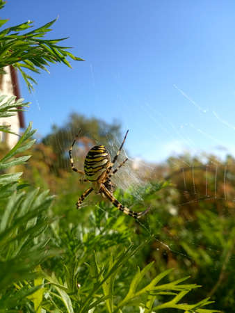 yellow large spider weaves a web in the grass