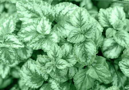 Close up Botany, flower neo-mint leaves in the garden, top view 写真素材