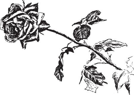 검은 스케치 이미지 가시 하나 흰색 줄기 잎 그리기 꽃 식물 벡터 장미