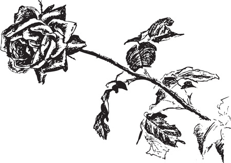 blossomed: rose  flower flora  vector  drawing  black  sketch image  leaves  thorns  one  white  stalk